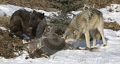 Wolves on deer kill