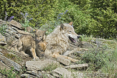 Wolves at den site
