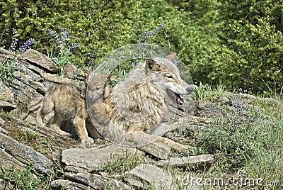 Wolves at den site