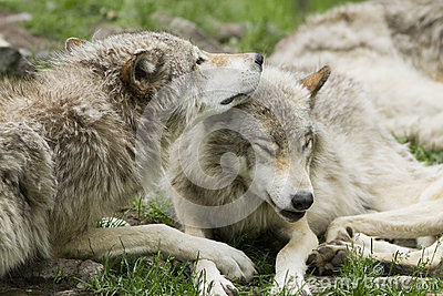 Wolves tenderness