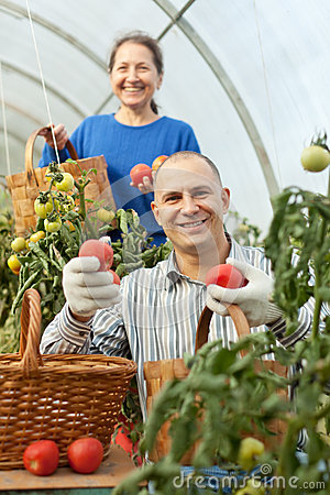 Free Woman And Man Picking Tomato Stock Images - 27214064
