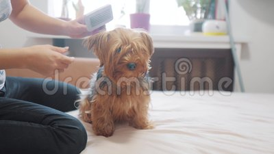 Woman Brushing Her Dog Dog Funny Video Girl Combing A Little