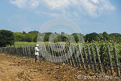 Woman controlling a Vineyard in Tuscany Editorial Photography