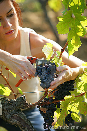 Woman cutting grapes