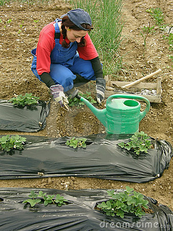 The woman digs strawberry seedlings