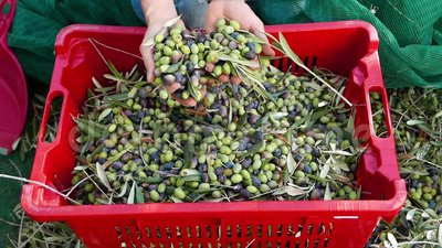Woman dropping olives from hands to plastic box. Olive oil production, harvest in autumn. Taggiasca cultivar, Liguria, Italy. Slow. Motion stock footage