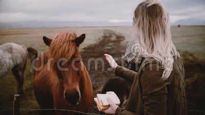 Woman feeding and stroking Icelandic horses grazing on a field. Female enjoying landscape and animals on the farm. Young blonde woman feeding with bread and stock video footage