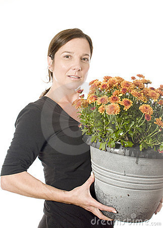 Woman gardener beautiful chrysanthemum mum flow