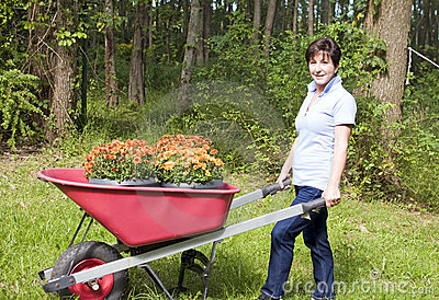 woman gardening wheel barrow chrysanthemums