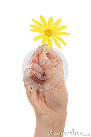 Woman hand holding a daisy