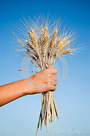 Woman hand holding wheat spikes against blue sky