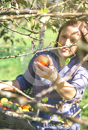 Free Woman Hand Picking Red Apple From The Tree Stock Images - 62510574