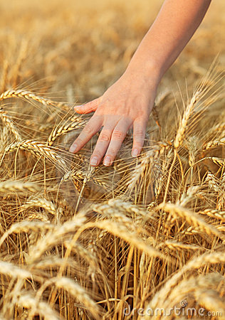 Woman hand touching wheat