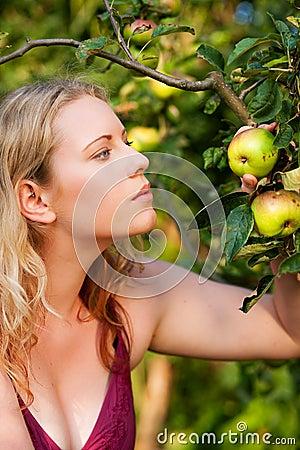 Woman Harvesting apples in garden