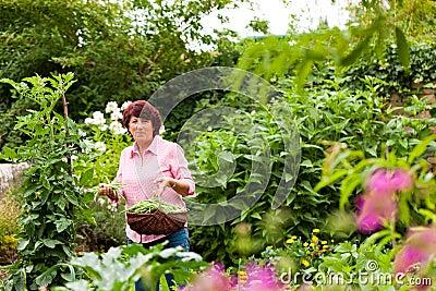 Woman harvesting beans in her garden