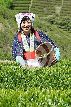 Woman harvesting tea leaves Editorial Stock Image