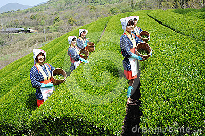 Woman harvesting tea leaves Editorial Photo