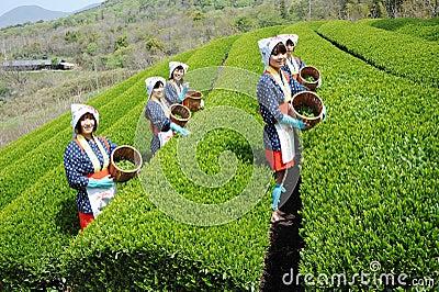 Woman harvesting tea leaves Editorial Photo