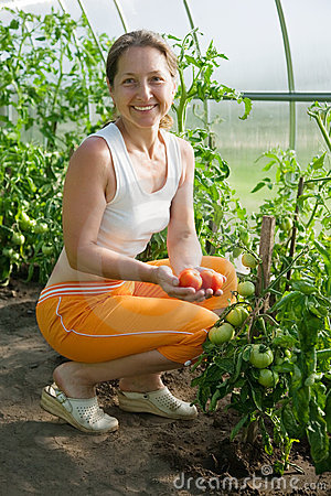 Free Woman Is Picking Of Tomato Royalty Free Stock Photos - 15233558