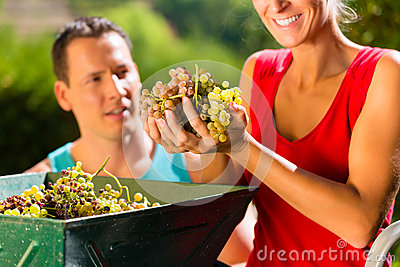 Woman and man working with grape harvesting machine