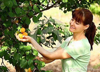 Woman picking apricots