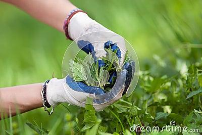 Woman picking fresh nettles