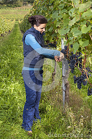 Woman Picking Grapes Royalty Free Stock Image - Image: 26778626