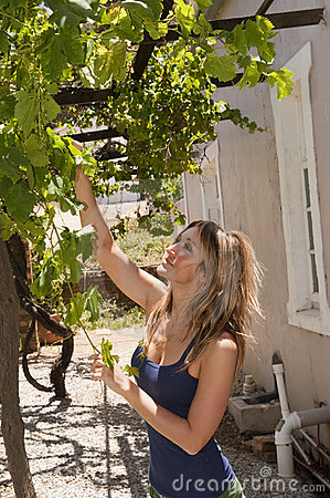 Woman picking grapes wine