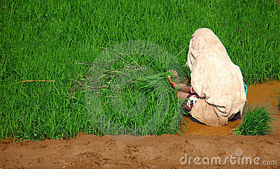 Woman, planting rice