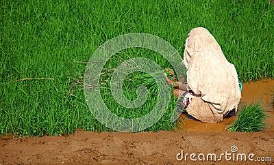 Woman, planting rice