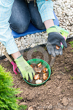 Free Woman Planting Tulip Bulbs Royalty Free Stock Photography - 47272927