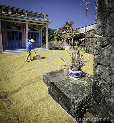 Woman drying rice grains,vietnam Editorial Stock Image
