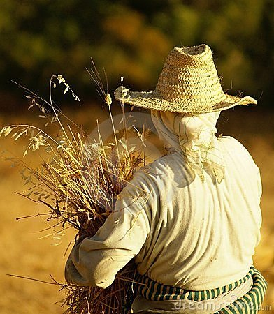 Woman reaping wheat