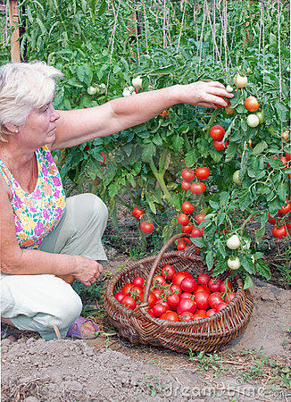 Woman reaps a crop of tomatoes