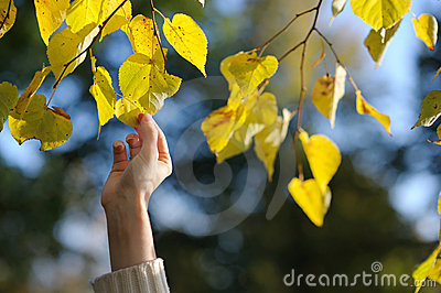 Woman s hand touching yellow leaves