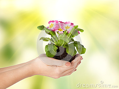 Woman s hands holding flower in soil