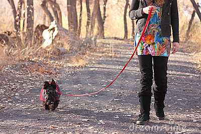 Woman Walking Scottish Terrier Dog
