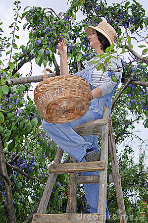 Woman on wooden stair picking plums