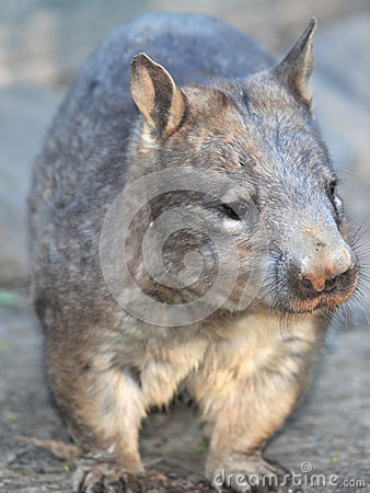 Wombat, australian common, queensland, australia