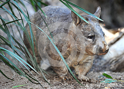 Wombat, australian common, queensland, australia