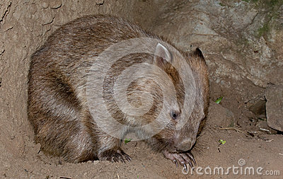 A wombat bear from Australia close up portrait