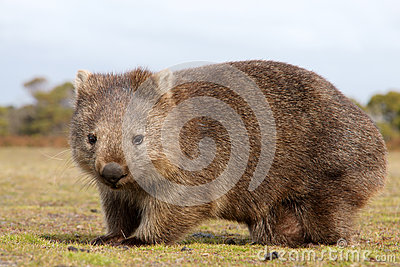Wombat close-up