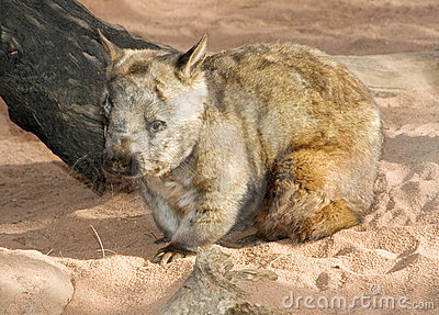 Wombat sitting