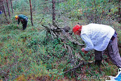 The women gather cowberry in the woods