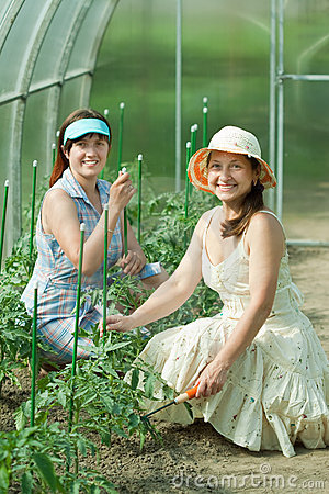 Women prongs tomato plant