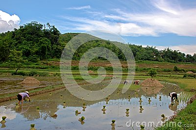 Women work hard in rice field