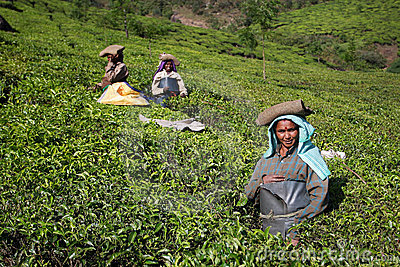 Women works on the suny tea plantation Editorial Stock Photo