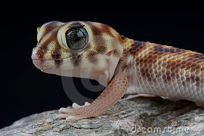 Wonder gecko