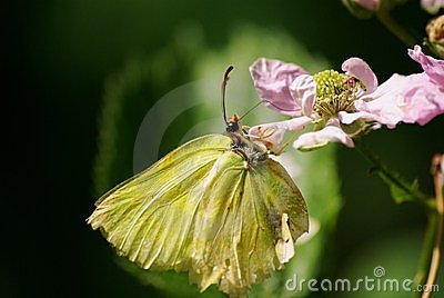 Wonderful Brimstone Butterfly