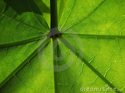 Wonderful Green Maple leaf
